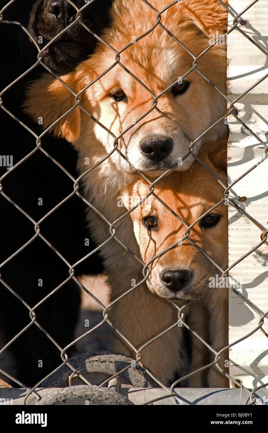 Zwei Schrottplatz Hunde spähte durch Maschendrahtzaun Stockfoto ...
