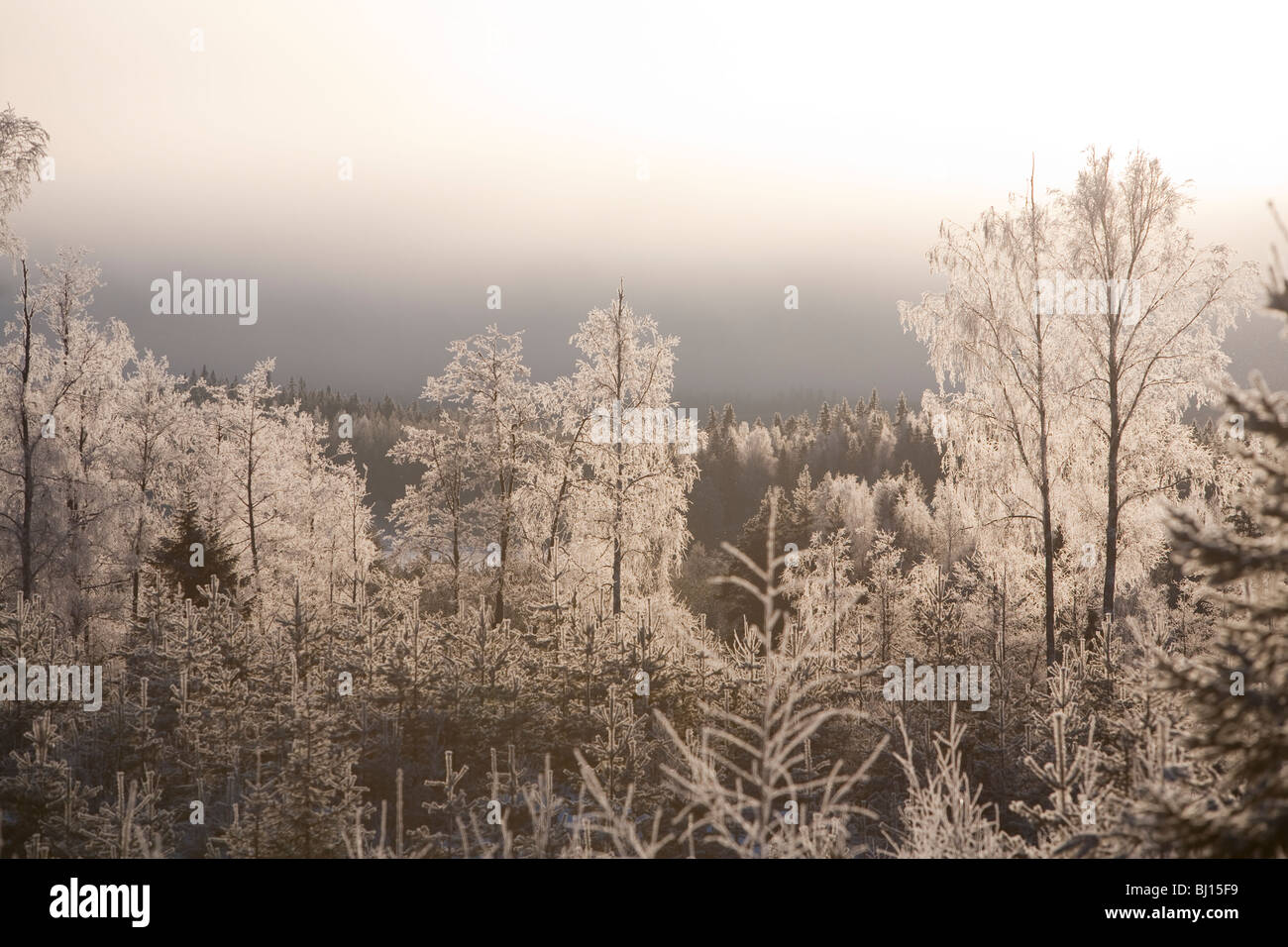 Ansicht der frostigen Bäume im finnischen Wald im Winter, Finnland Stockbild