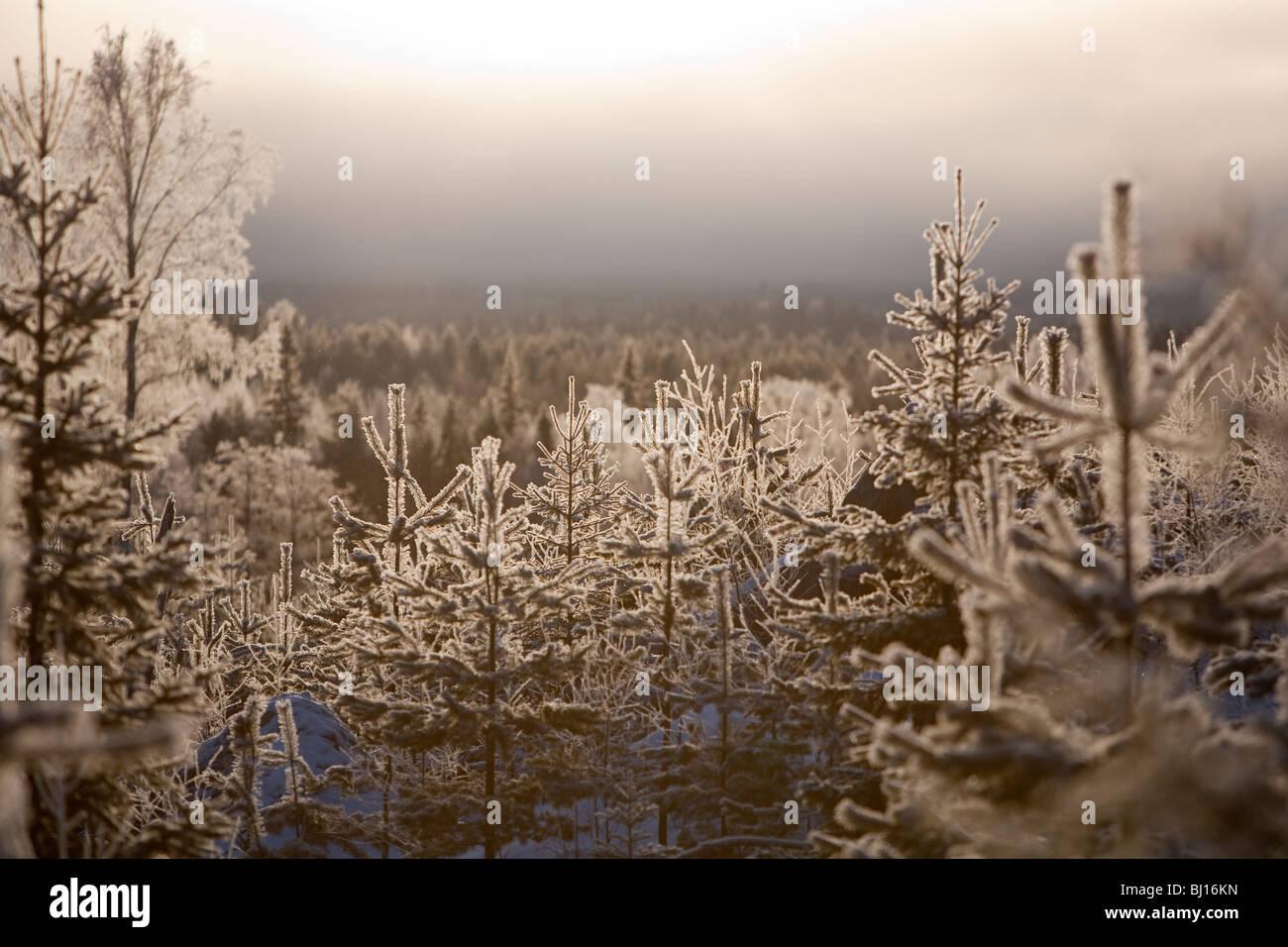 Frostigen Kiefer (Pinus Sylvestris)-Setzlinge im finnischen Wald im Winter, Finnland Stockbild