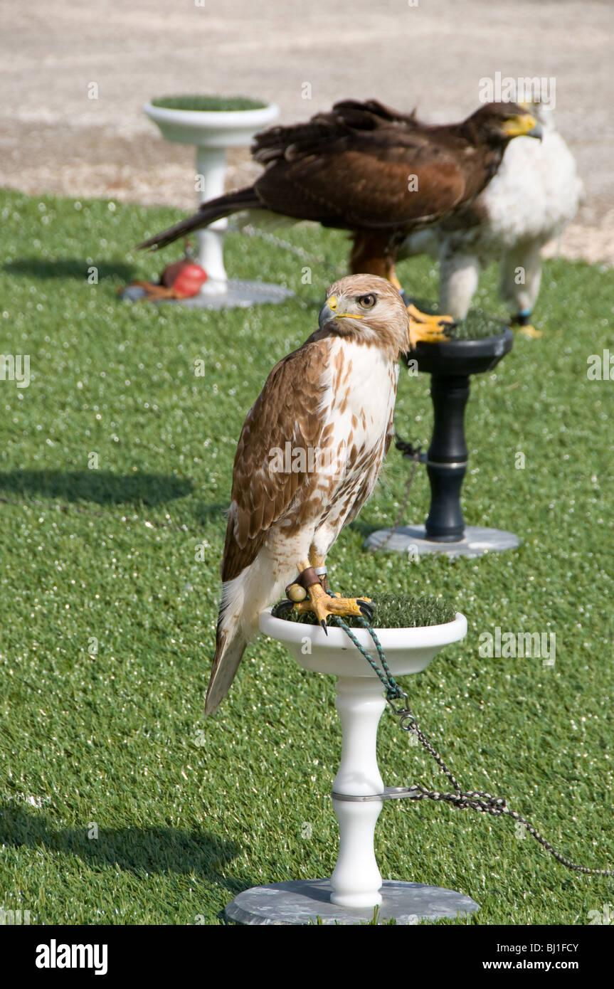 Ein Boneli Adler sitzt auf einem Hochsitz an eine Falknerei-Anzeige in Mtarfa Malta es ist ein Harris Hawk im Hintergrund Stockbild