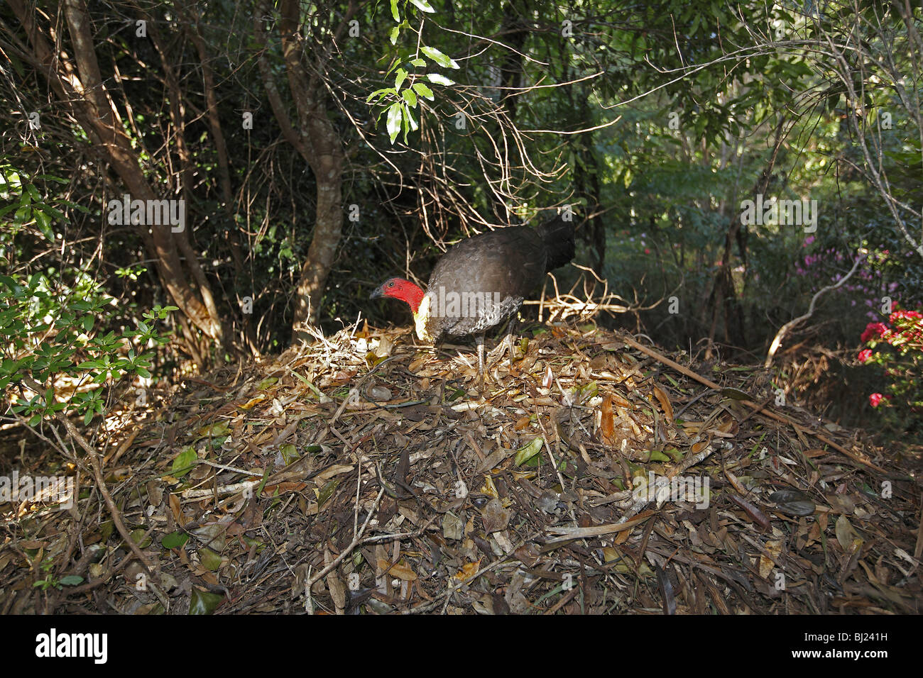 Australische Pinsel-Türkei (Alectura Lathami) am Nest Hügel. Stockbild