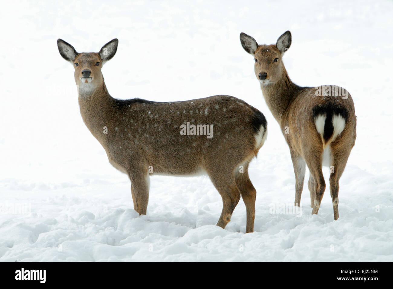 Dybowski oder Sika Hirsch, Cervus Nippon zwei auf schneebedeckten Feld im Winter, Bereich Ostasien alarmieren Stockbild