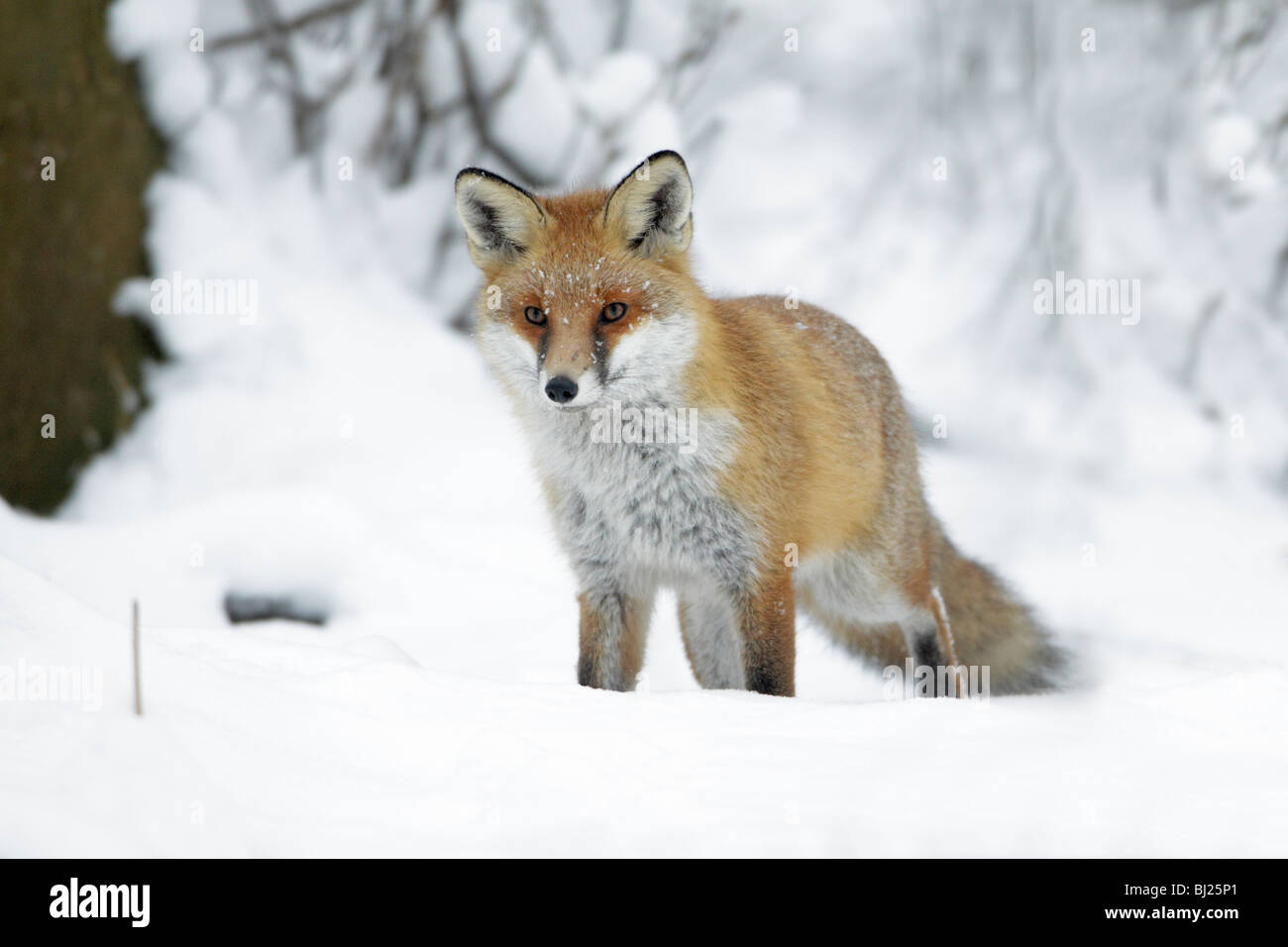 forest fox stockfotos forest fox bilder alamy. Black Bedroom Furniture Sets. Home Design Ideas