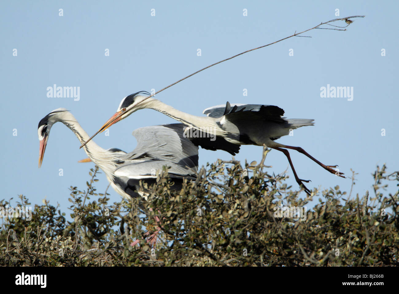 Graureiher (Ardea Cinerea), im Flug landet auf dem Nest mit Nistmaterial, Portugal Stockbild