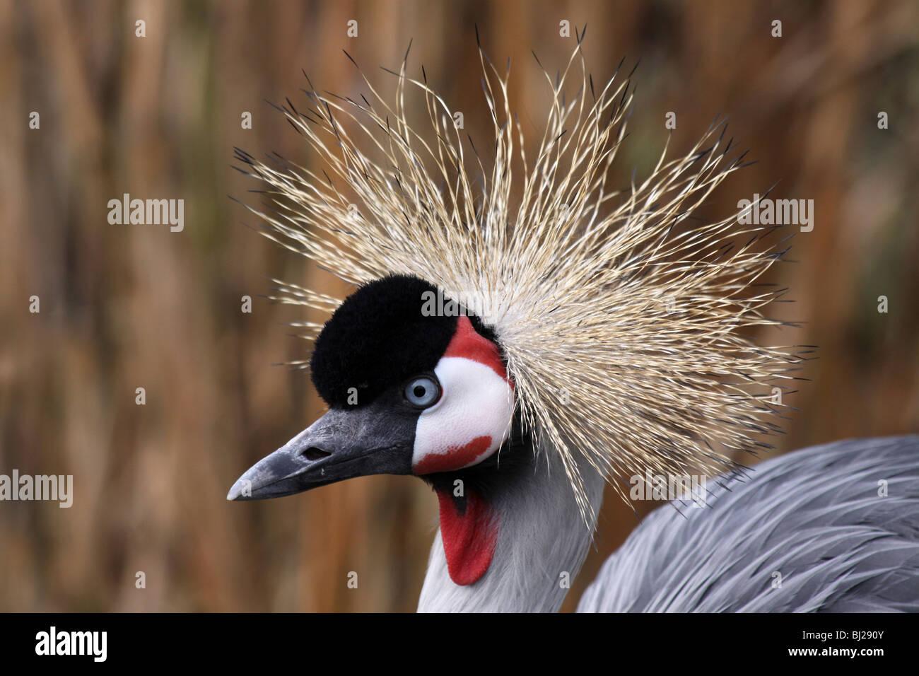 Enge, der Kopf Federn des afrikanischen grau gekrönt Kran Balearica Regulorum genommen bei Martin bloße Stockbild
