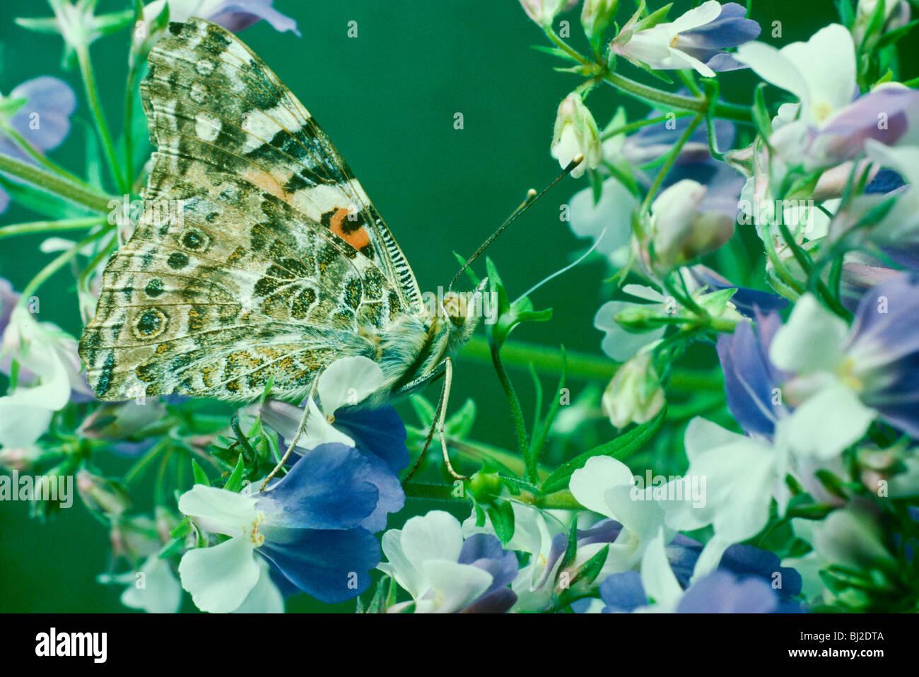 Collinsia Stockfotos & Collinsia Bilder - Alamy