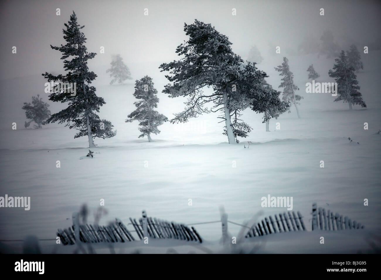 Schnee bedeckt Wind fegte Pinien auf einem schottischen Berg Stockbild