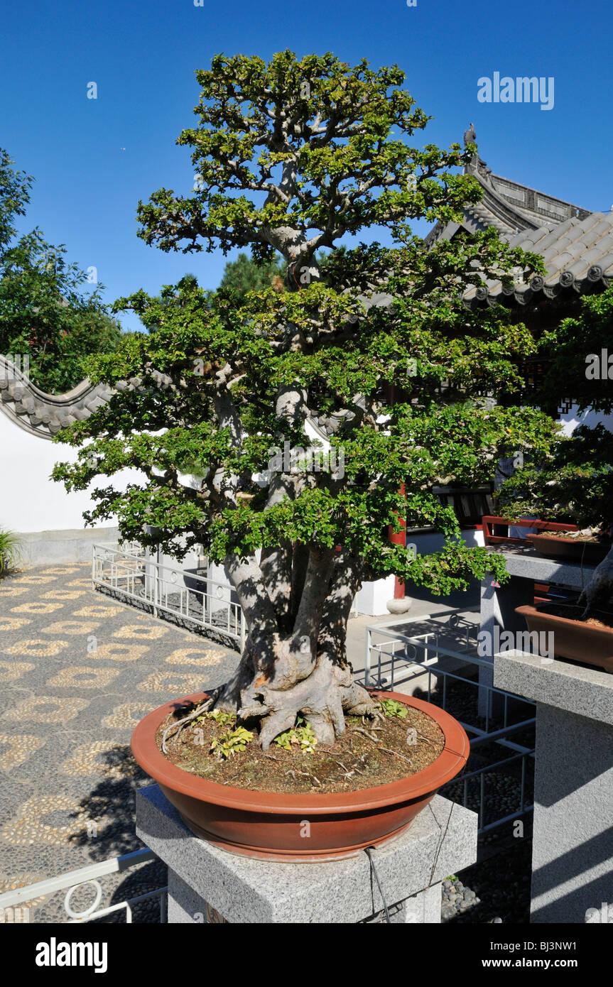 outdoor bonsai plants stockfotos outdoor bonsai plants bilder alamy. Black Bedroom Furniture Sets. Home Design Ideas
