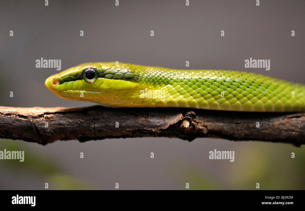 Rotschwanz-Klapperschlange (Gonyosoma Oxycephala) Stockbild