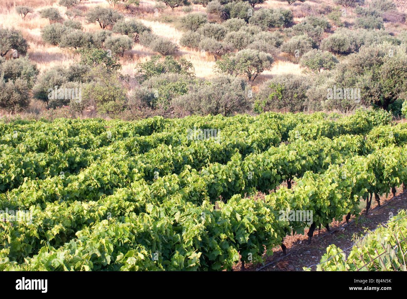 Weinbau und Olive Plantage in die Messara-Ebene in der Nähe von Asimi, Kreta, Griechenland, Europa Stockbild