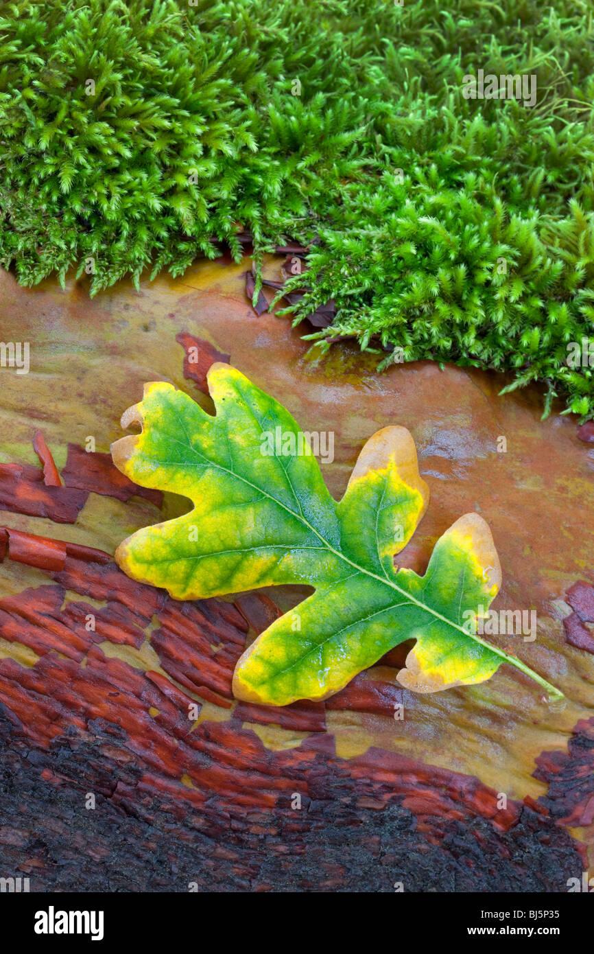 Eichenblatt in Herbstfarben auf Madrone Zweig mit Moos. Siskiyou National Forest Stockbild