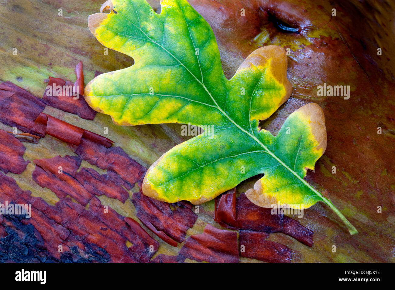 Eichenblatt in Herbstfarben auf Madrone Zweig. Siskiyou National Forest Stockbild