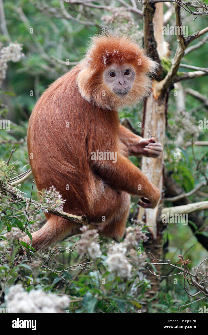 Leaf Monkey/Javan Languren (Prebytis Auratus) - auf Ast Stockbild