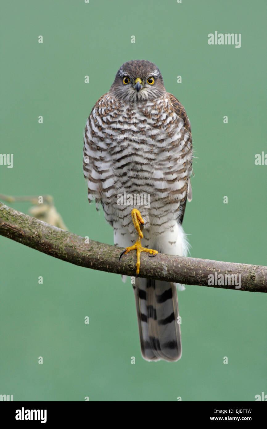 Sperber (Accipiter Nisus), Weiblich, thront auf Zweig, Deutschland Stockbild