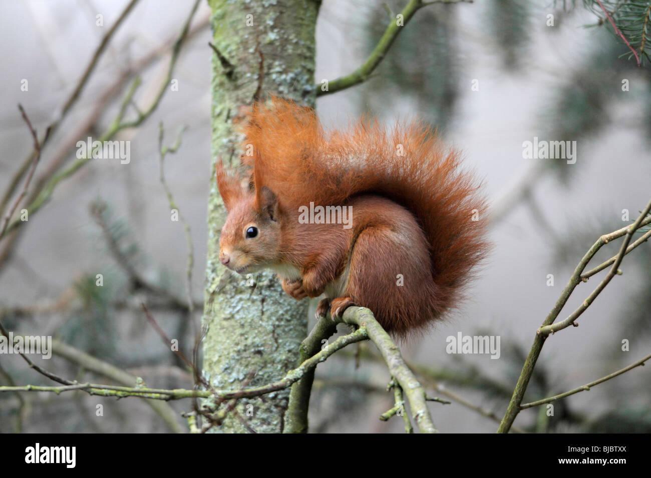Europäische Eichhörnchen (Sciurus Vulgaris), auf Ast, ruhen Stockbild