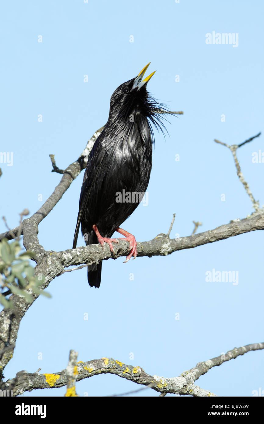 Makellos Starling (Sturnus unicolor), singen von Ast, Spanien Stockbild