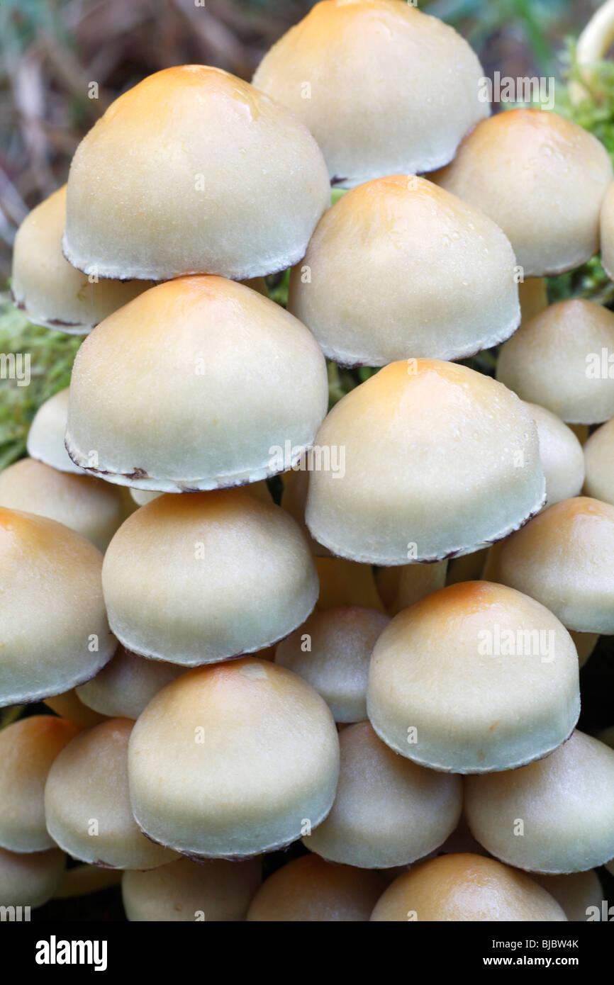 Sulphur Tuft Pilze (Grünblättriger Fasciculare), eine detaillierte Untersuchung der Fruchtkörper Stockbild