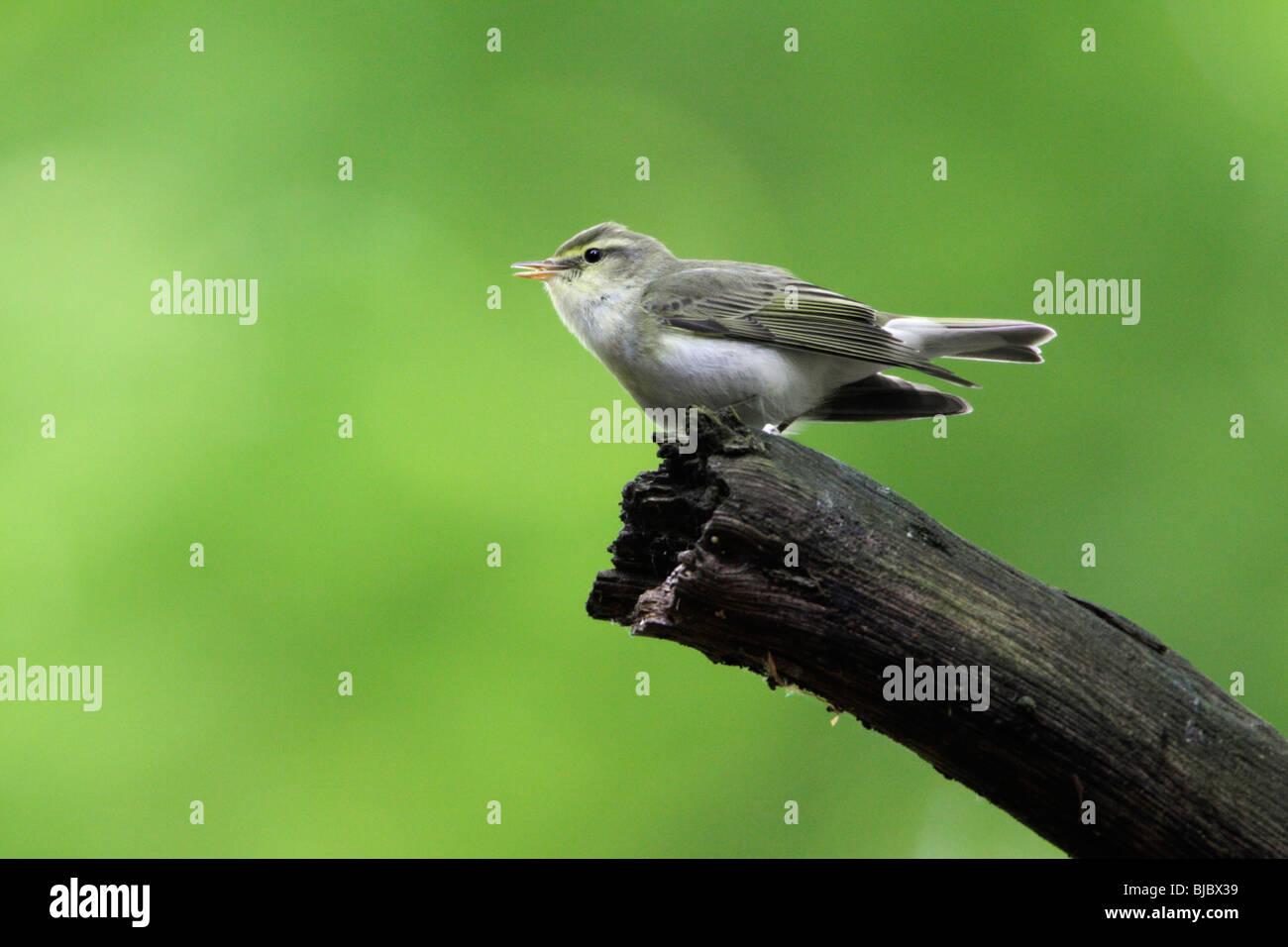 Holz-Laubsänger (Phylloscopus Sibilatrix), singen von Zweig Stockbild