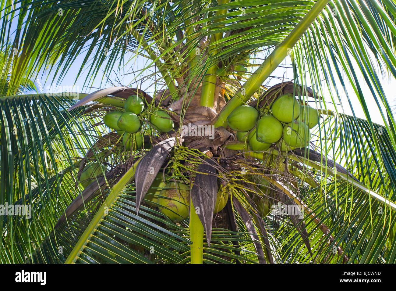 Palm Kokosnuss Coco Coconutpalm Mutter Reife Frucht Baum tropische Pflanze Obst essen hohe Hight Hoheit ernten Ernte Stockbild