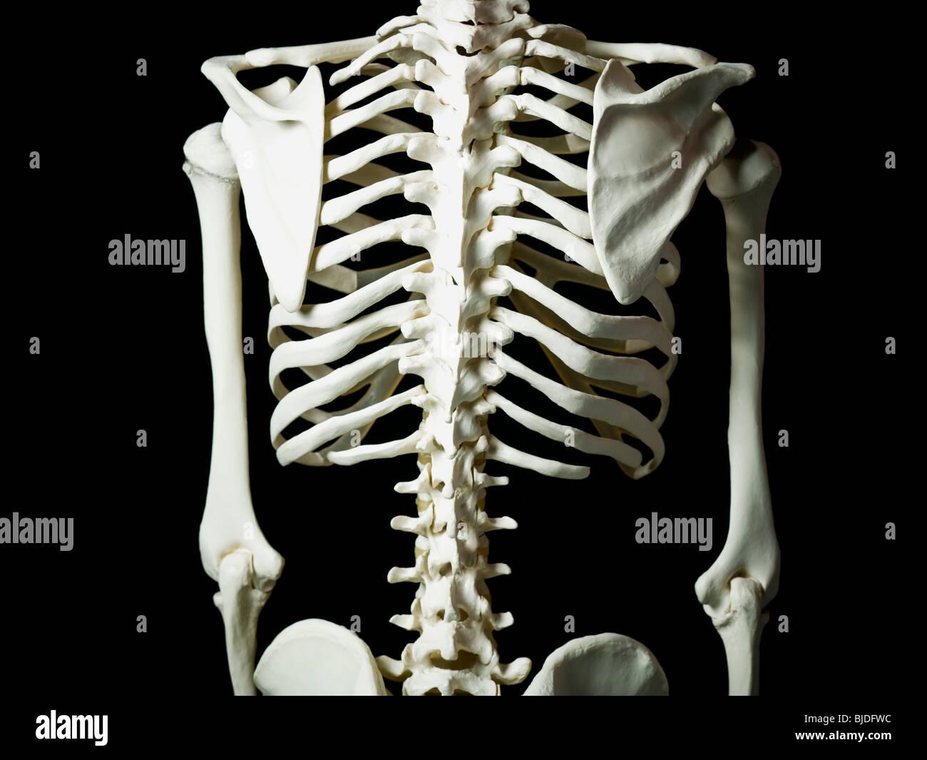 Skelett. Stockbild