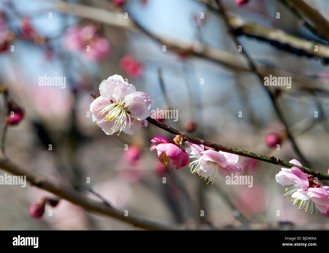 Eine japanische Prunus Mume Ume Winter Aprikose Frühlingsblüten. Closeup am Ende eines Stammes. Stockbild