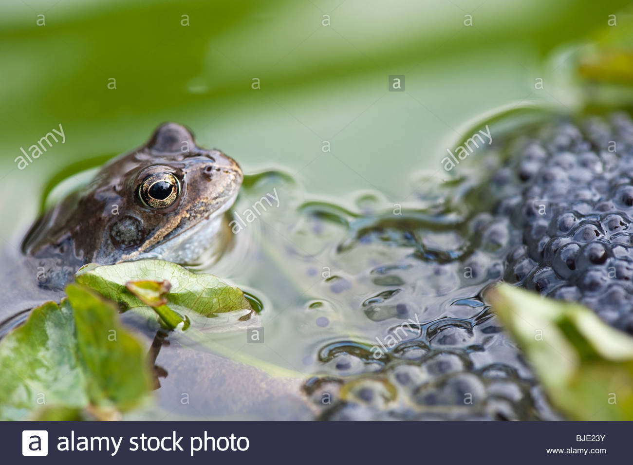 frogs stockfotos frogs bilder alamy. Black Bedroom Furniture Sets. Home Design Ideas