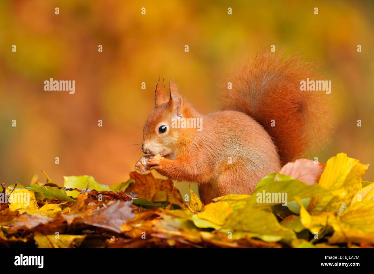 Eichhörnchen (Sciurus Vulgaris) Fütterung unter Buche Blätter im Herbst, Niederlande. Stockbild