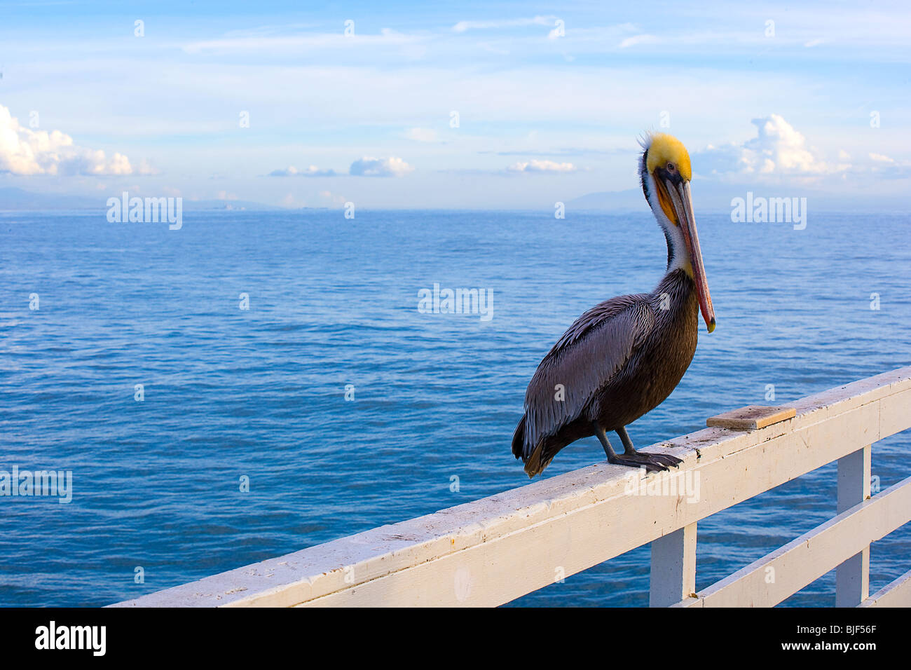 Ein Pelikan auf dem Pier in Santa Cruz, Kalifornien Stockbild