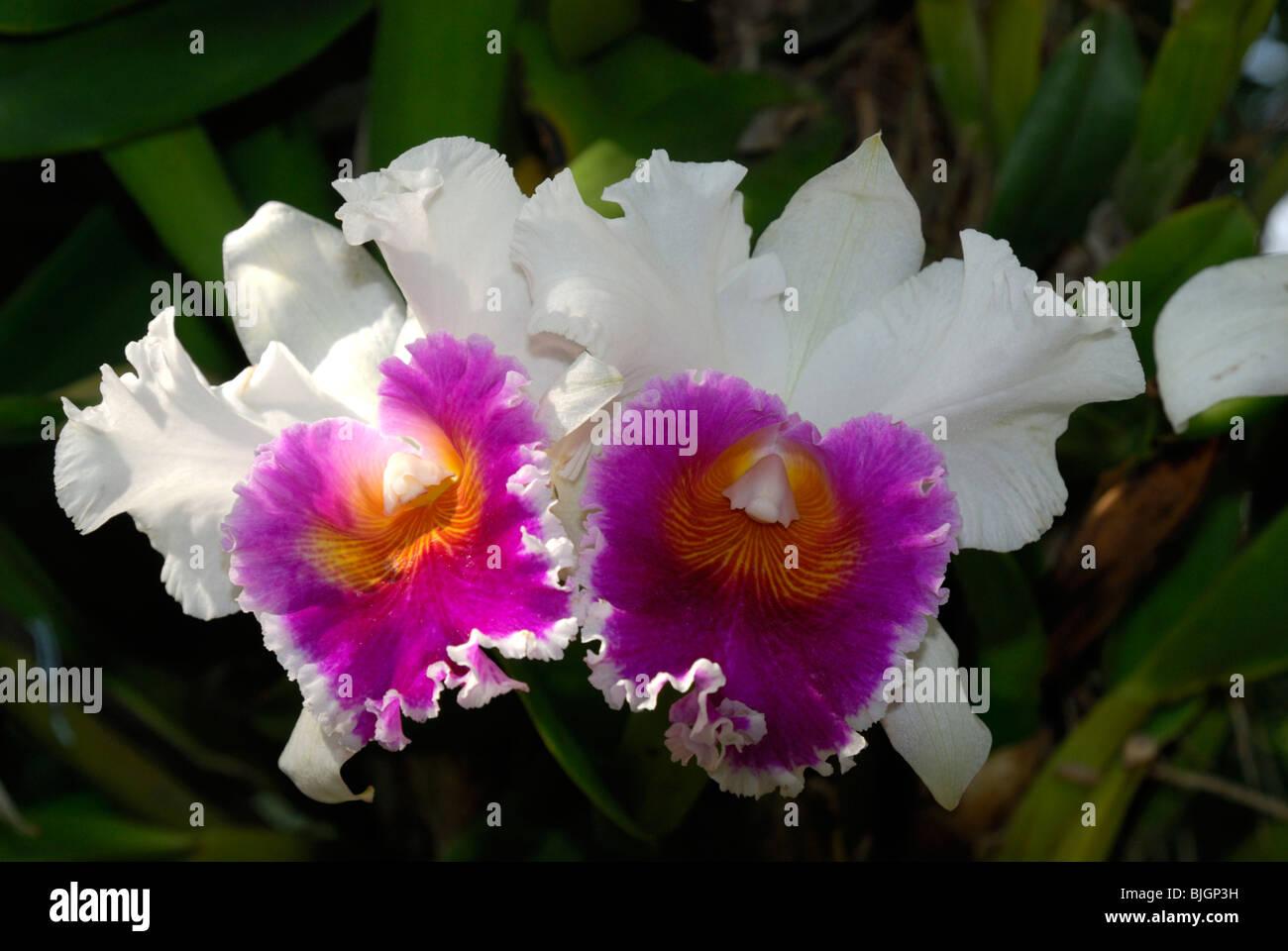 Orchideen, Chiang Mai, Thailand Stockbild