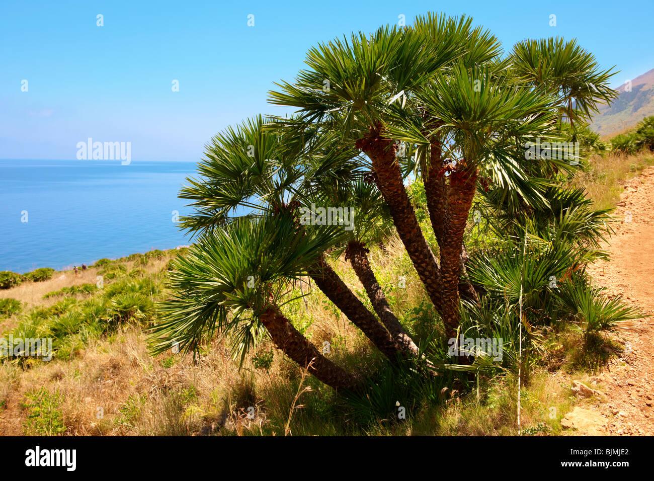 Zwerg Palmen Zwergpalmen Chamaerops Humilis Riserva Naturale Dello Zingaro Zingaro Naturschutzgebiet Scopello Stockbild
