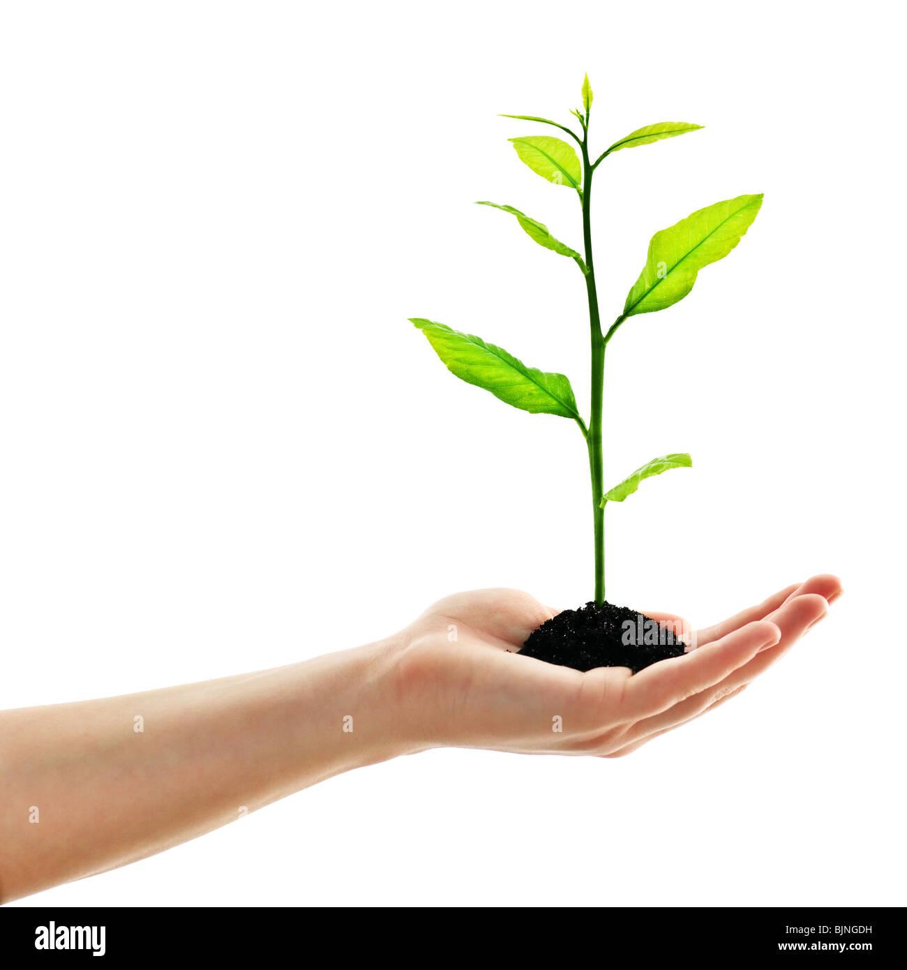 Pflanzen Sie in der Hand des Menschen isoliert auf weiss Stockbild