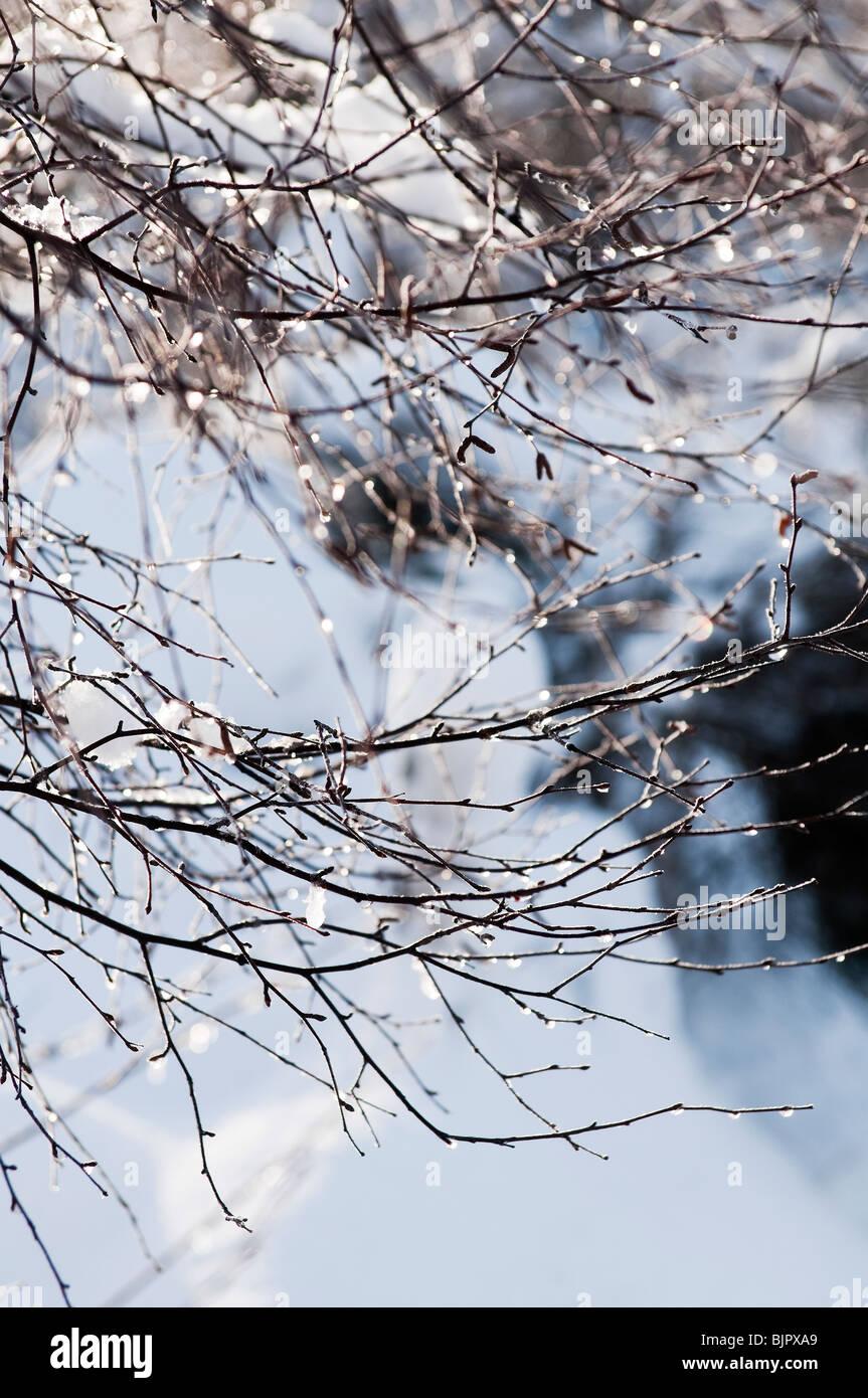 Schneeschmelze aus einem Ast der Birke in den schottischen highlands Stockbild