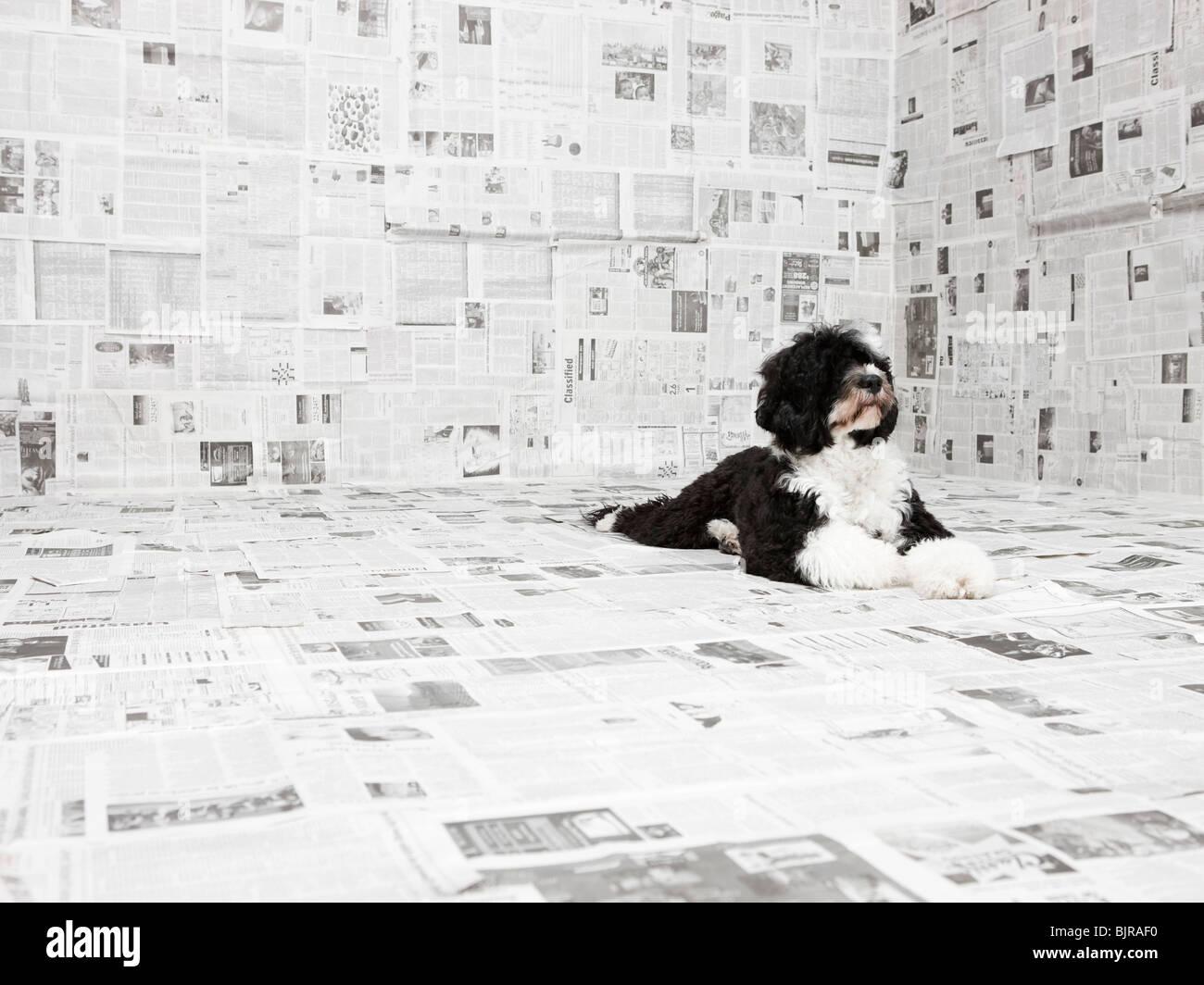 Portugiesischer Wasserhund in Raum bedeckt in Zeitung Stockbild
