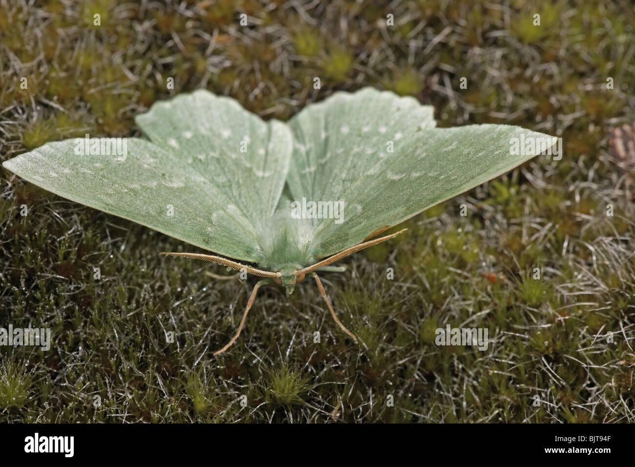 Großer Smaragd, Geometra Papilionaria, Motte UK Stockbild
