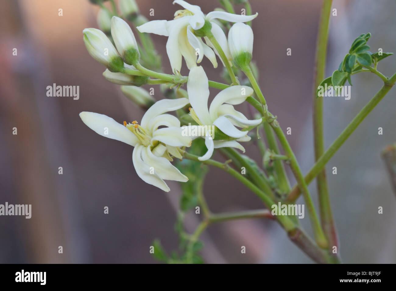 "Blumen, Moringa ""Moringa Oleifera"" Zweig. Stockbild"
