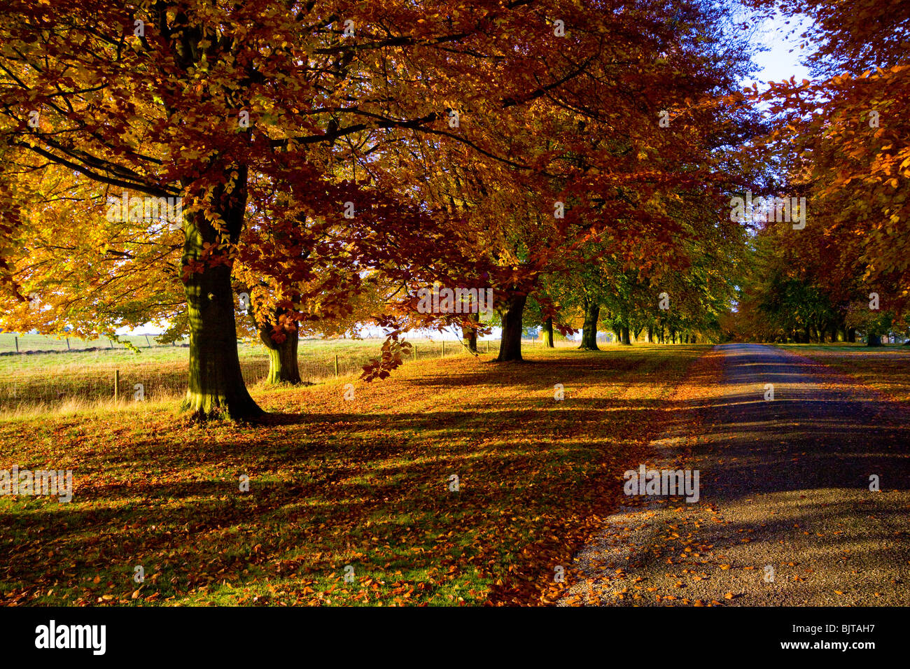 Herbstliche Bäume Buche Chequers Buckinghamshire Stockbild