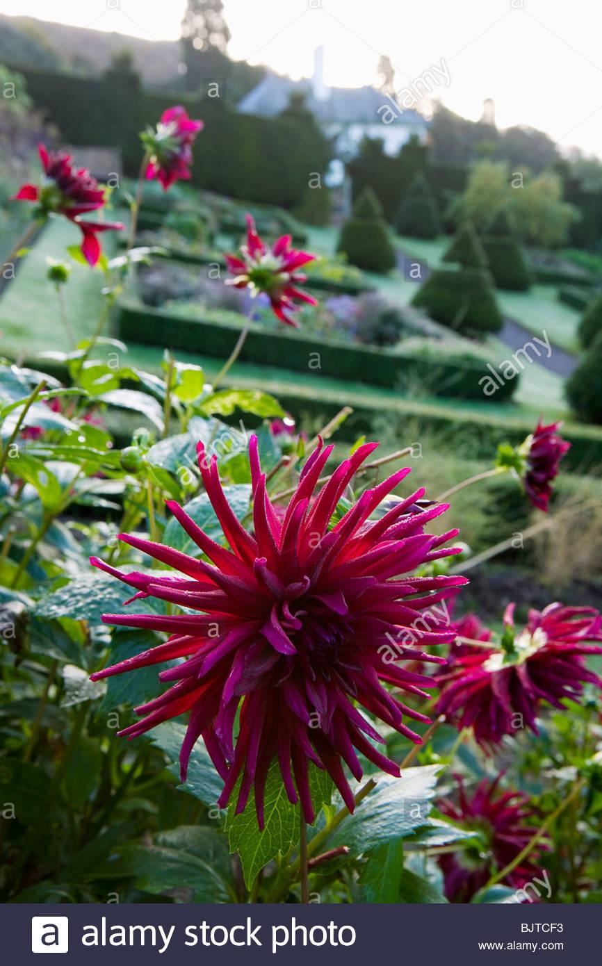 Perrycroft, Herefordshire. (Bogenschützen) Eibe topiary Garten in Hanglage mit Dahlien Stockbild