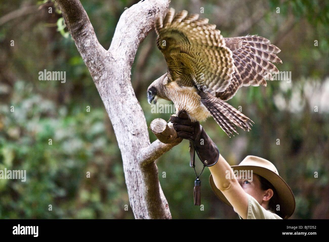 Erfahrene Handler anzeigen Australiens prächtigen Greifvögel Birds Of Prey Show am Flight Deck Territory Stockbild