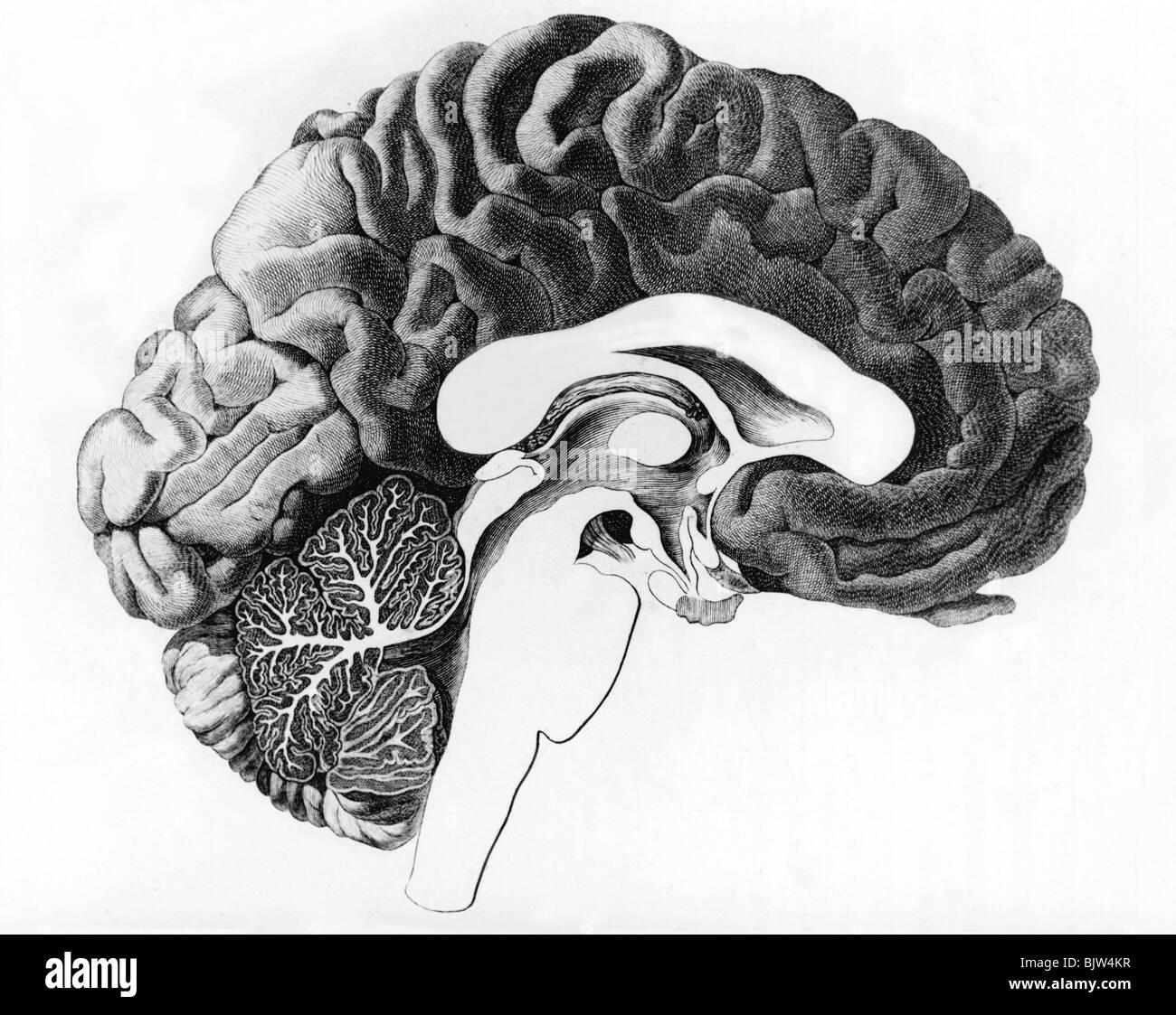 Medizin, Anatomie, Gehirn, Querschnitt des menschlichen Gehirns ...
