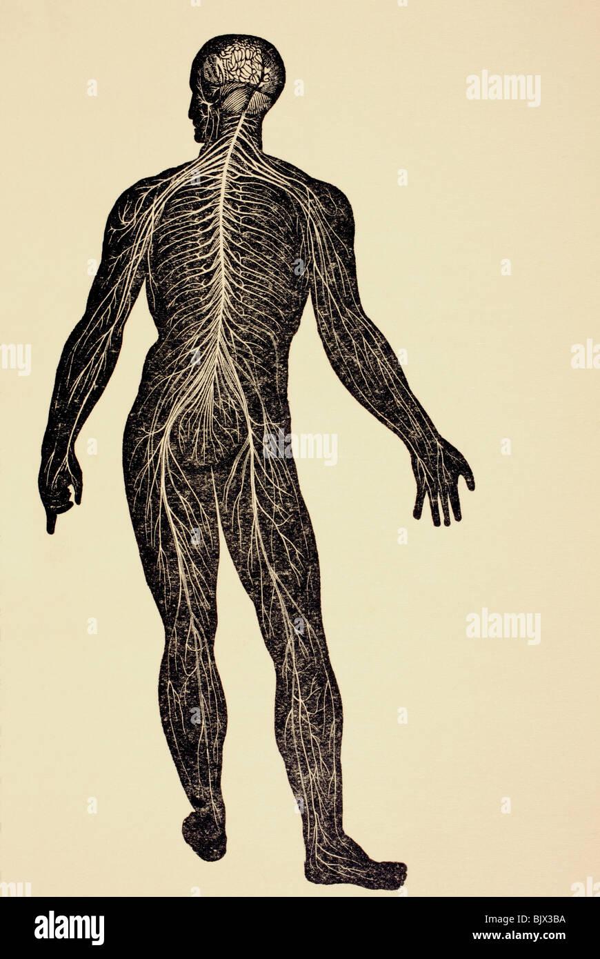 Das menschliche Nervensystem Stockfoto, Bild: 28847598 - Alamy