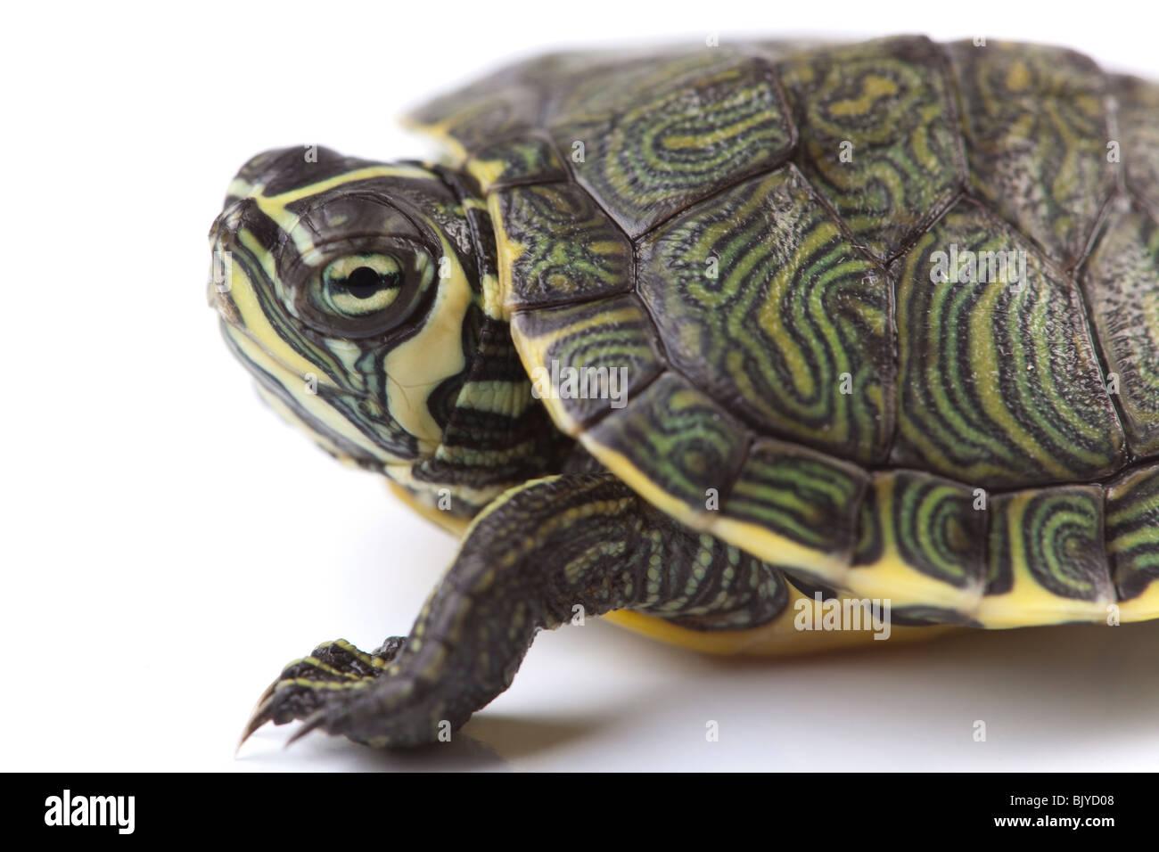 Wer ist Schildkröten-Datierung im echten Leben Kohlenstoffströmung von NOas Flut