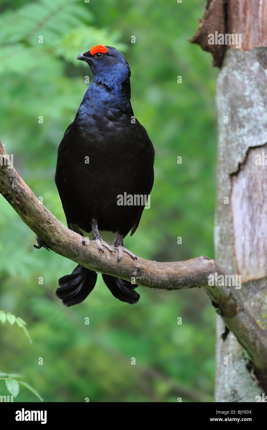 Birkhuhn (Lyrurus Tetrix / at Tetrix) männlich thront auf Ast im Baum Stockbild