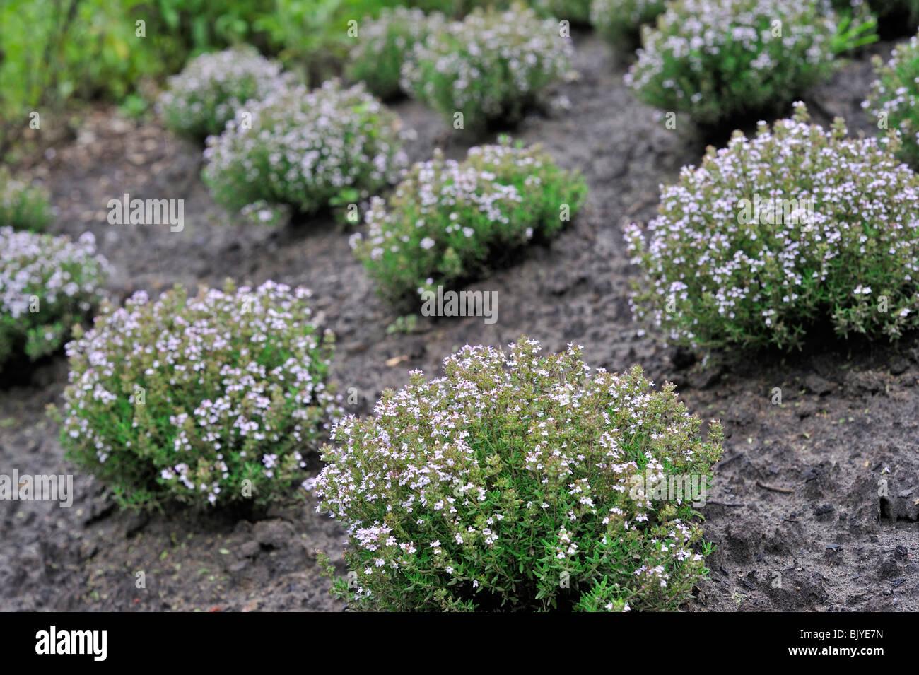 Garten Thymian Gemeinsame Thymian Deutscher Thymian Thymus