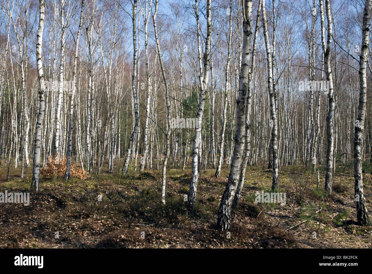 Silver Birch Bäume in der Nähe von Funksendestelle, Barnim, Brandenburg, Deutschland Stockbild