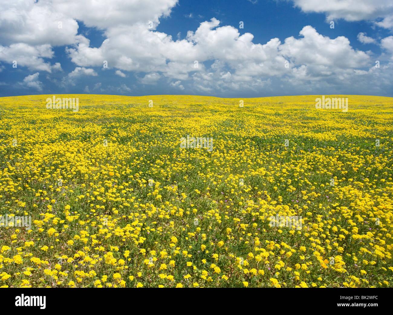 Ein weites Feld an gelbe Wildblumen, das auf ewig geht. Der Fotograf retuschiert die Horizontlinie und Himmel. Stockbild