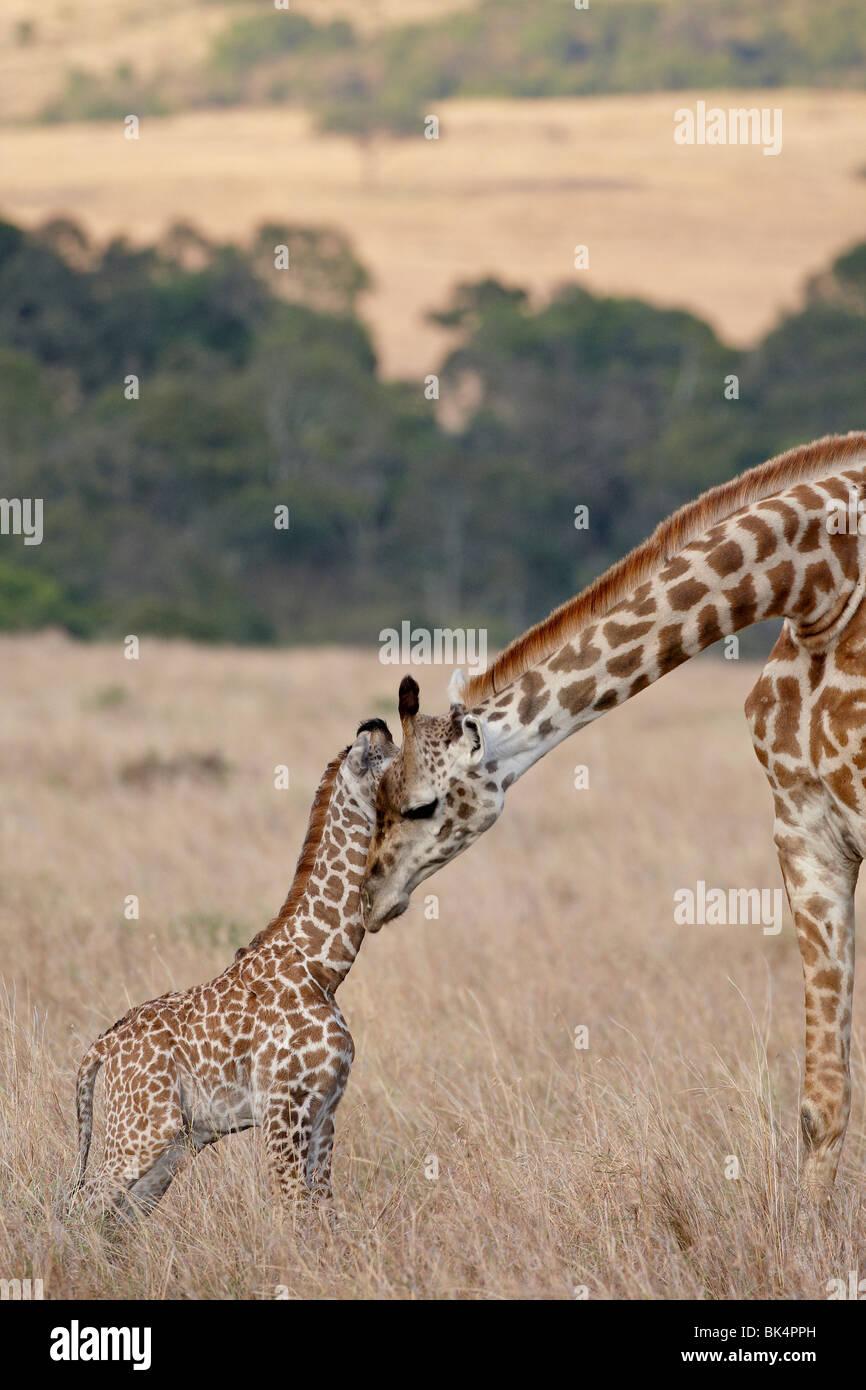 Mutter und Baby Masai Giraffe (Giraffa Plancius Tippelskirchi) nur wenige Tage alt, Masai Mara National Reserve, Stockbild