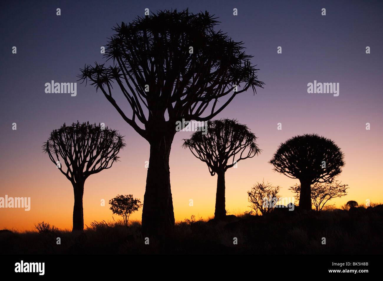 Zittern Sie Bäume (Aloe Dichotoma), zucken Sie Baum Wald Silhouette, Keetmanshoop, Namibia, Afrika Stockfoto