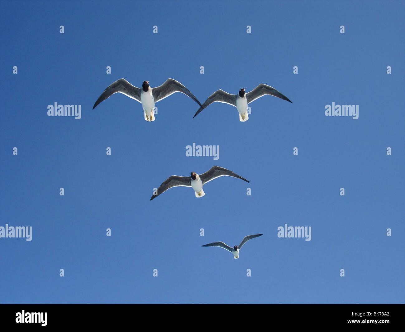 Schlangenaale Möwe am Himmel, Ichthyaetus Leucophthalmus Stockbild