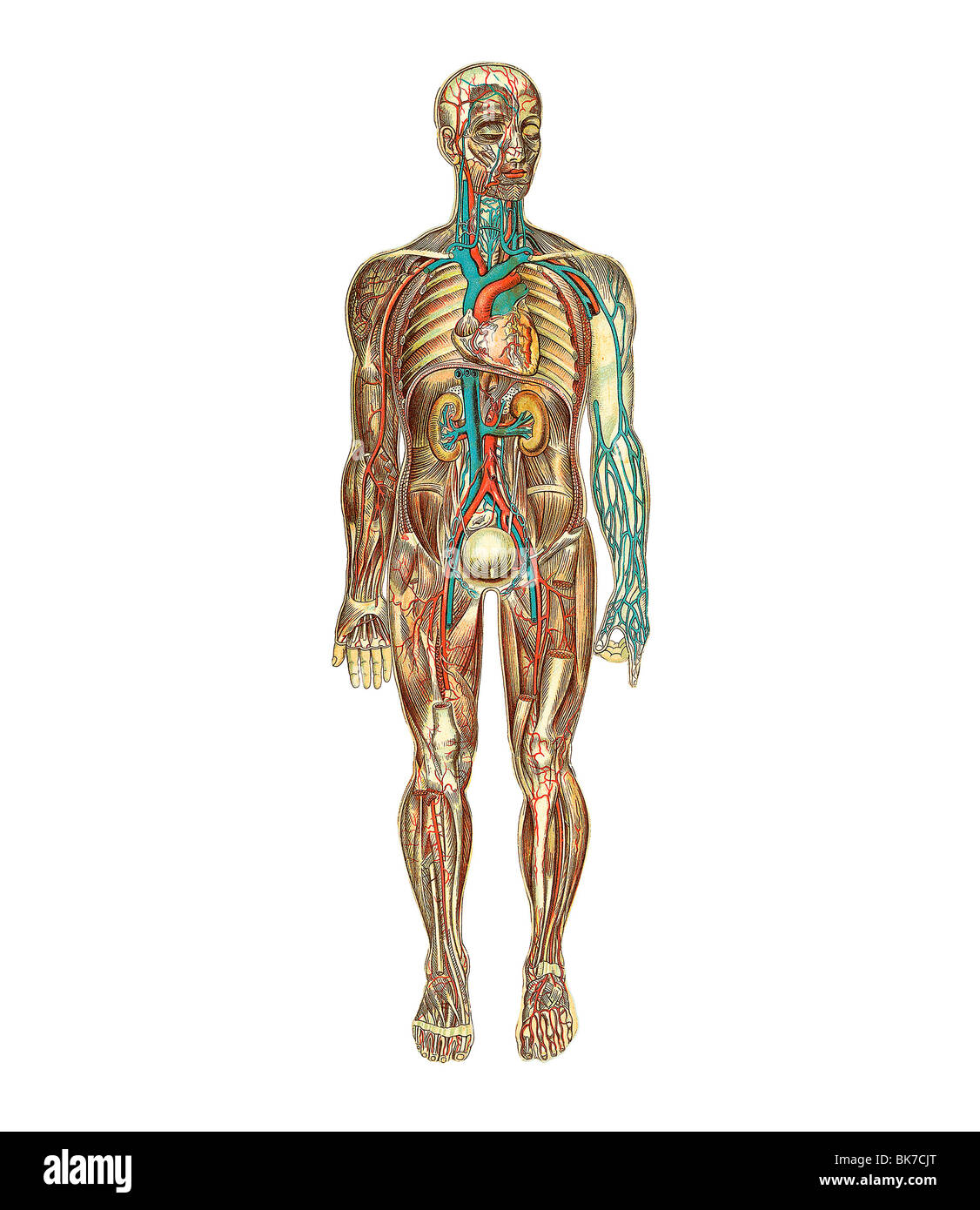 Organs Veins Stockfotos & Organs Veins Bilder - Alamy