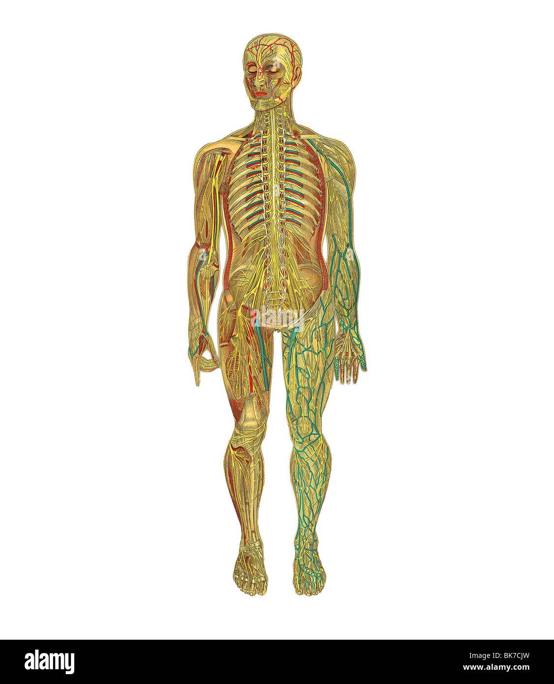 Tolle Was Anatomie Oberfläche Zeitgenössisch - Anatomie Ideen ...